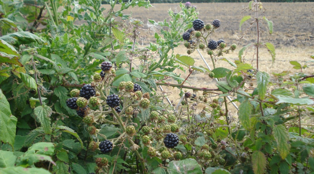 blackberry picking meaning